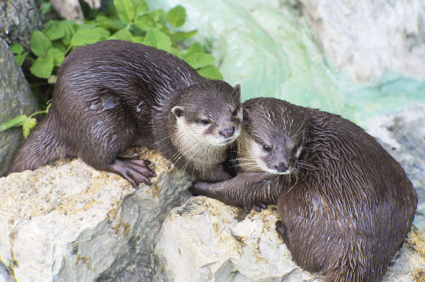 The Big Impact of Asian Small-Clawed Otters