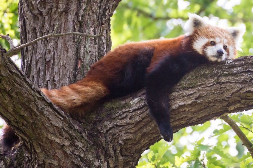Red Pandas:  Rightful Rulers of the Panda Roost